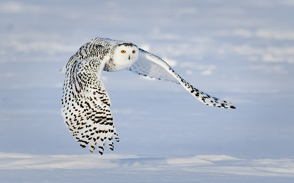 Snowy owl in flight at night - photo#20